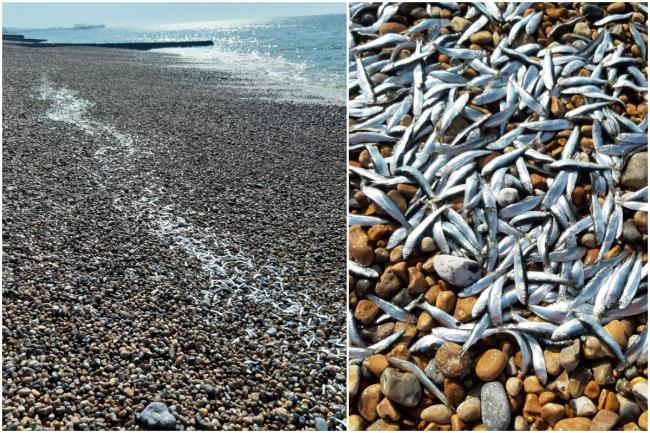 Thousands of fish wash up on beach