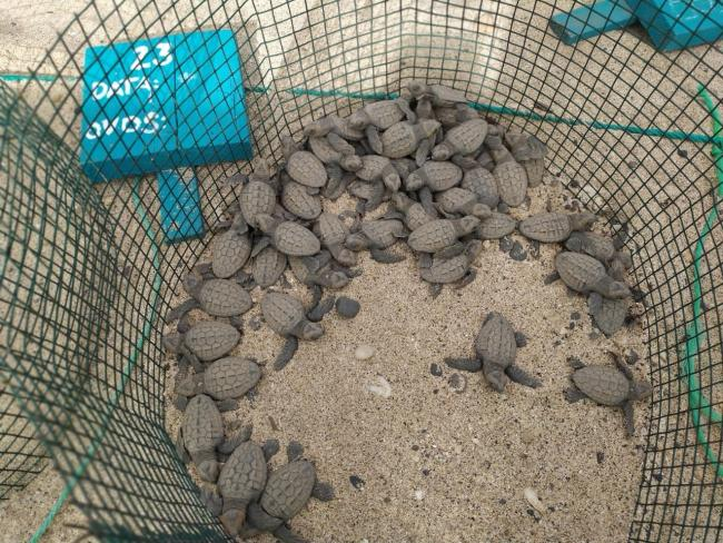 Sea turtles sponsored by a brewery have hatched