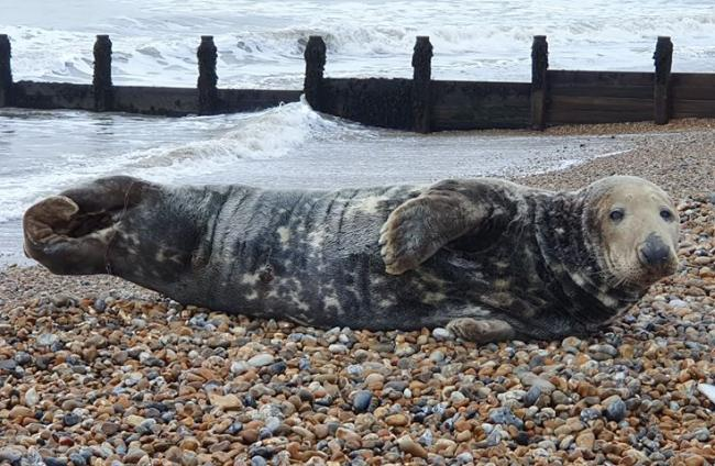 This seal was spotted on Felpham beach today. Photo: David Samuels