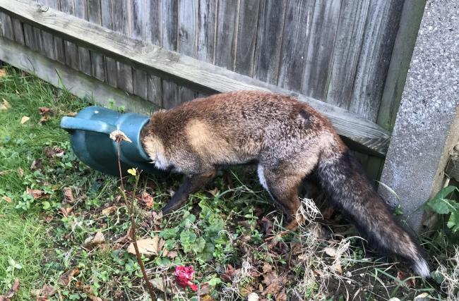 Fox had its head stuck in watering can