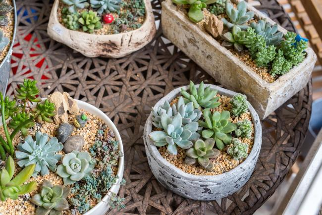 Succulents can make great container plants for alpine bowls or troughs