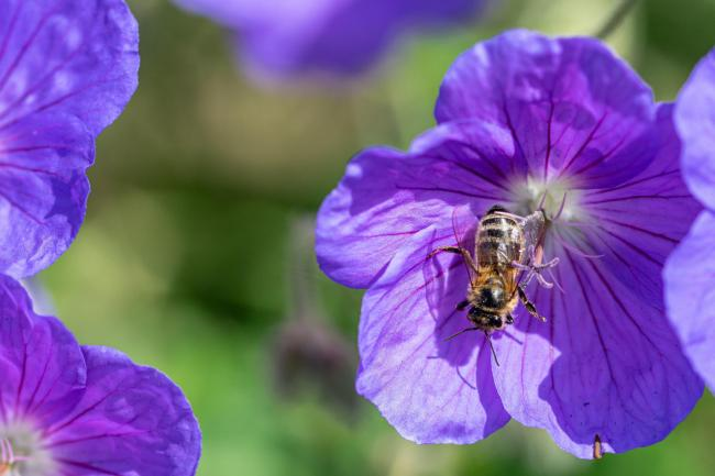 Undated Handout Photo of a bee on Geranium 'Rozanne'. See PA Feature GARDENING Advice Pollinators. Picture credit should read: iStock/PA. WARNING: This picture must only be used to accompany PA Feature GARDENING Advice Pollinators.