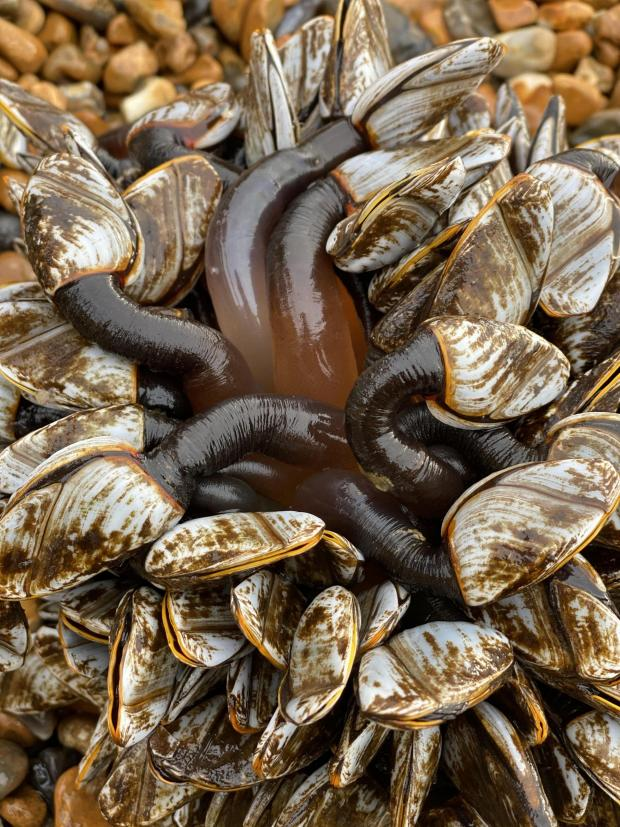 The Argus: Gooseneck barnacles. Photo by Elen Agasiants