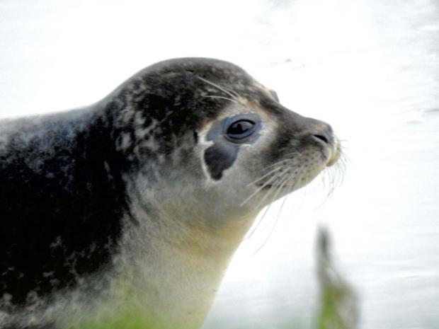 The Argus: Sue Barnett saw this seal in the River Adur