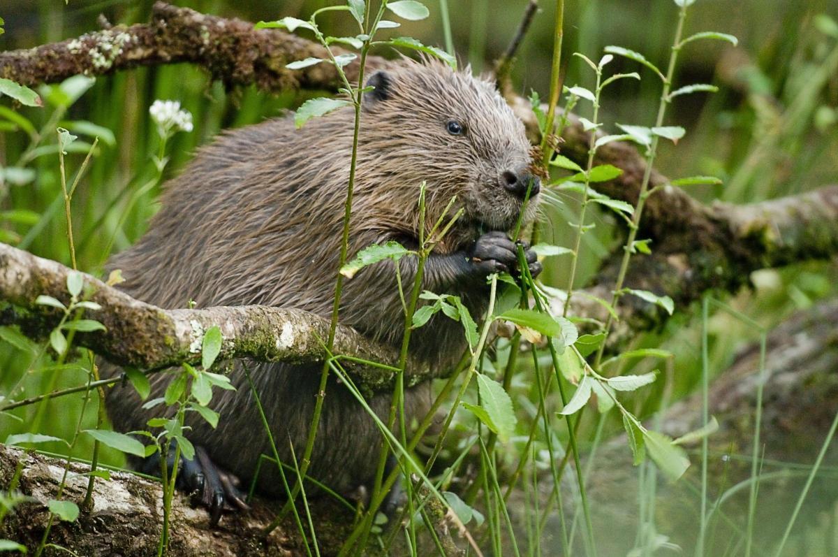 Devastating end in search for missing beaver