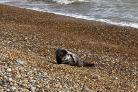 A seal has been spotted visiting beaches in the Hastings area Credit: Hastings Coastguard