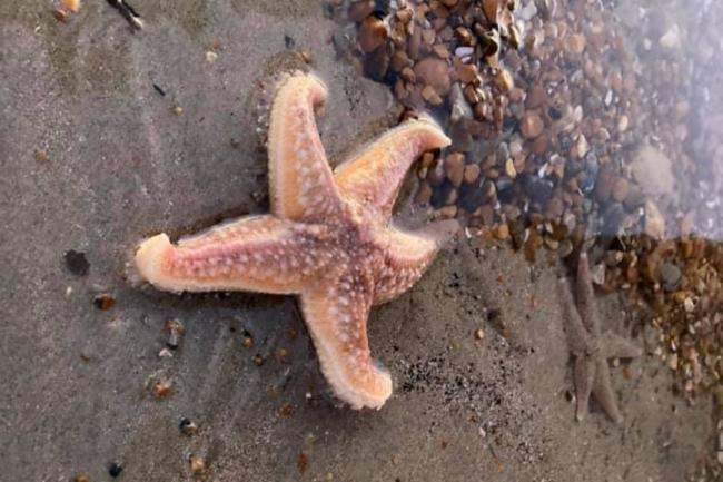 Several starfish have been spotted on the beach in Hove in the past week