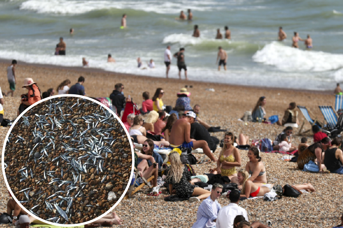 Hundreds of whitebait seen on beaches in Seaford and Hove