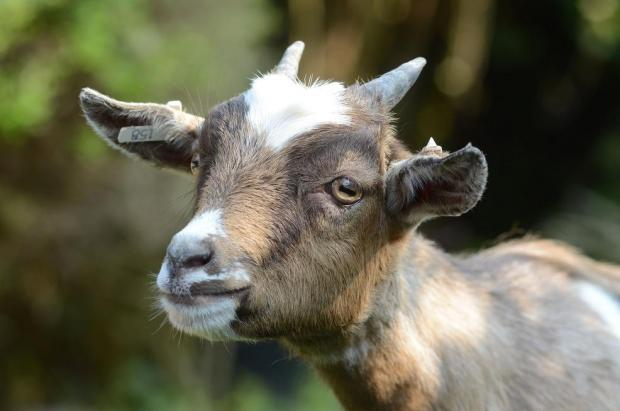 East Sussex goats hit by deadly virus