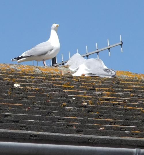 DEAD: The gull on the roof following the shooting