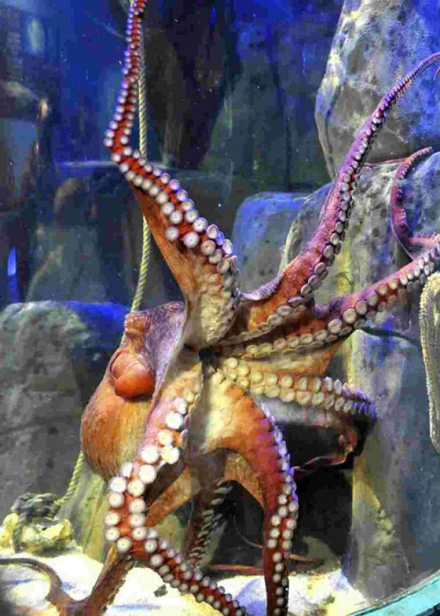 Sherloctopus from Hastings' Blue Reef Aquarium predicts a draw