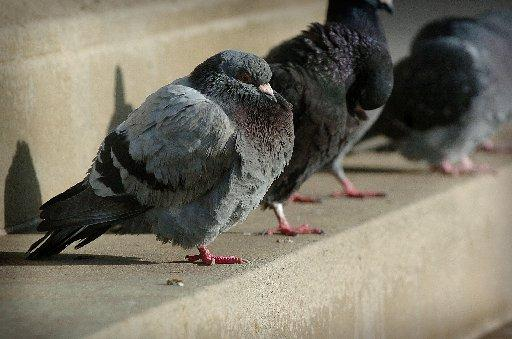 Pigeons are among the birds targeted by gunmen