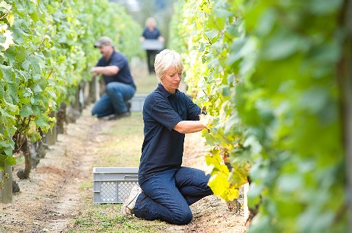 £10m down the drain as Nyetimber wine crop scrapped