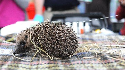 Sussex hedgehogs are prickly pioneers