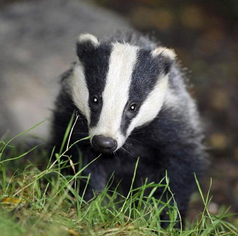 TB badger vaccination project bids for funds