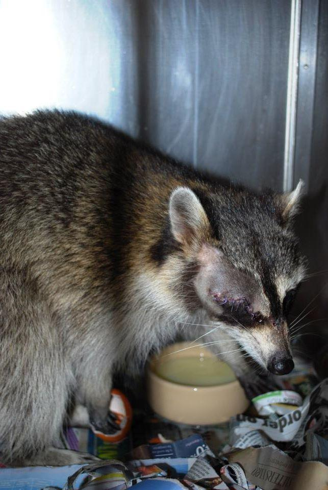Rocky the raccoon was rescued from Saint Hill Manor in East Grinstead