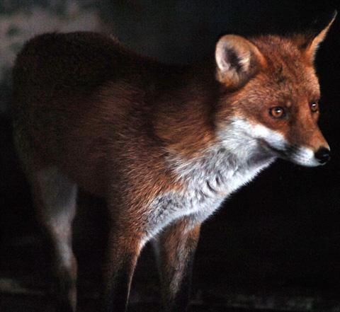 Foxy thief snatches bag - then returns it to owner