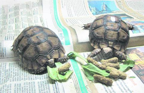 The two tortoises discovered in the back of a van in Newhaven