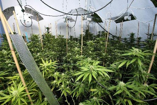 Police are raiding more cannabis factories like this one