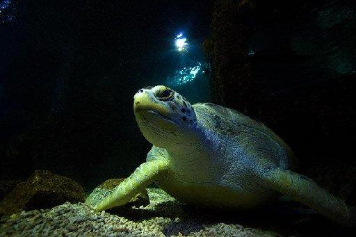 Britain's oldest turtle Lulu may be the oldest in Europe. Picture by Rob White of Marinepix