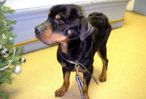 The severely emaciated rottweiler abandoned outside a pub