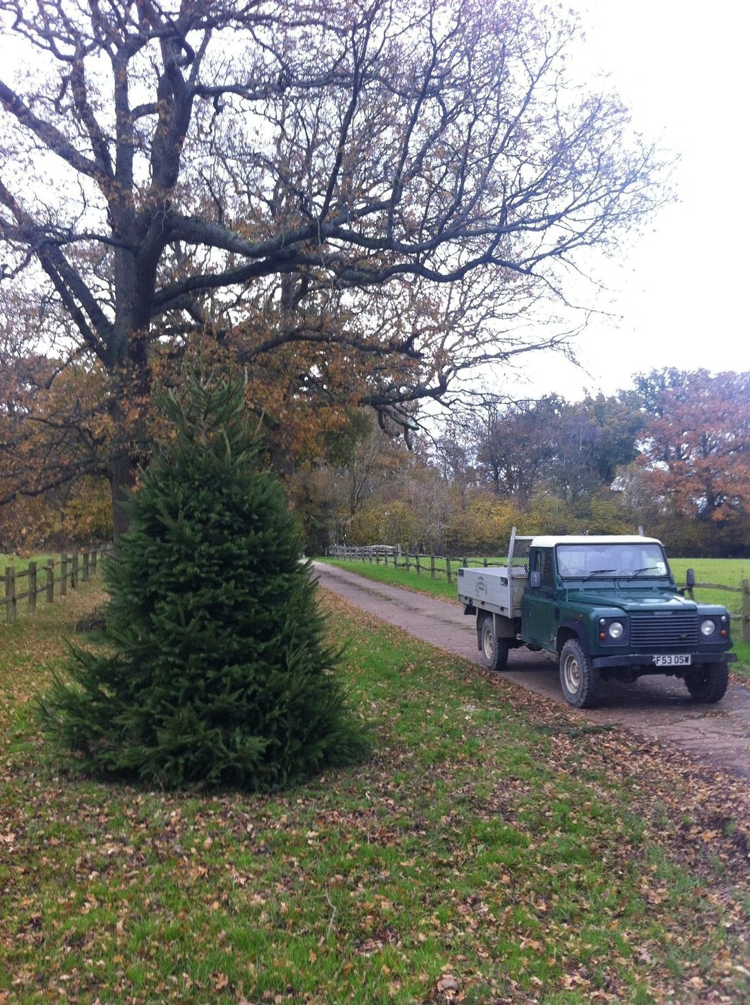 Brazen thieves chop down giant Christmas tree
