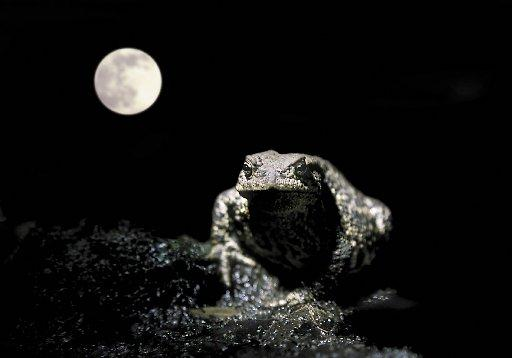 A common toad at night