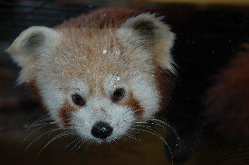 Tibao the red panda will be one of the animals keeping warm at Drusillas
