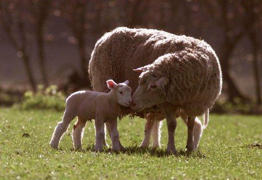 Lambs are among the livestock hit by the Schmallenberg virus