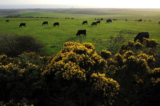 The Argus: Yellow gorse blooms as cattle graze on the South Downs by Devil's Dyke. Photo by Simon Dack