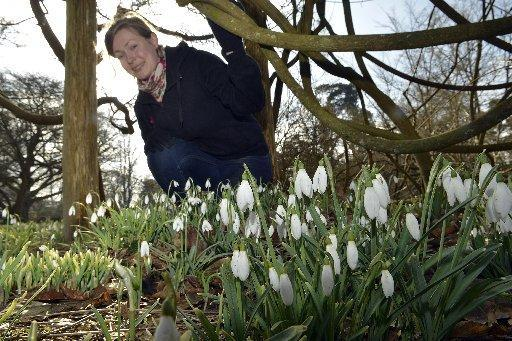 The Argus: Snowdrops at Nymans