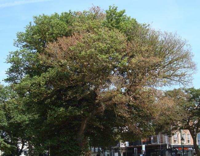 Brighton and Hove's historic elm trees at risk from new outbreak of Dutch Elm Disease