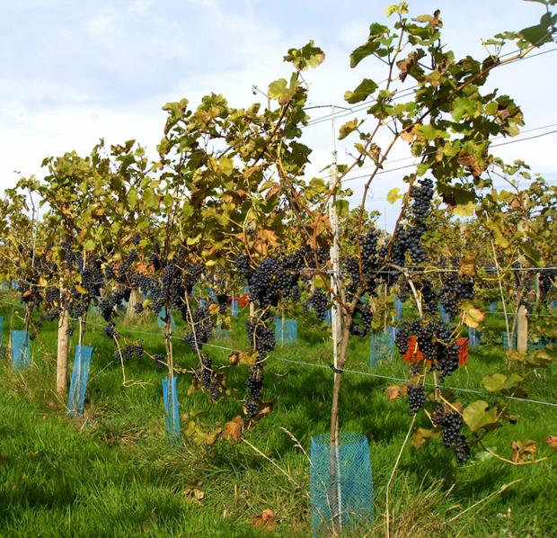 The Argus: Sussex vineyards make up for worldwide wine drought