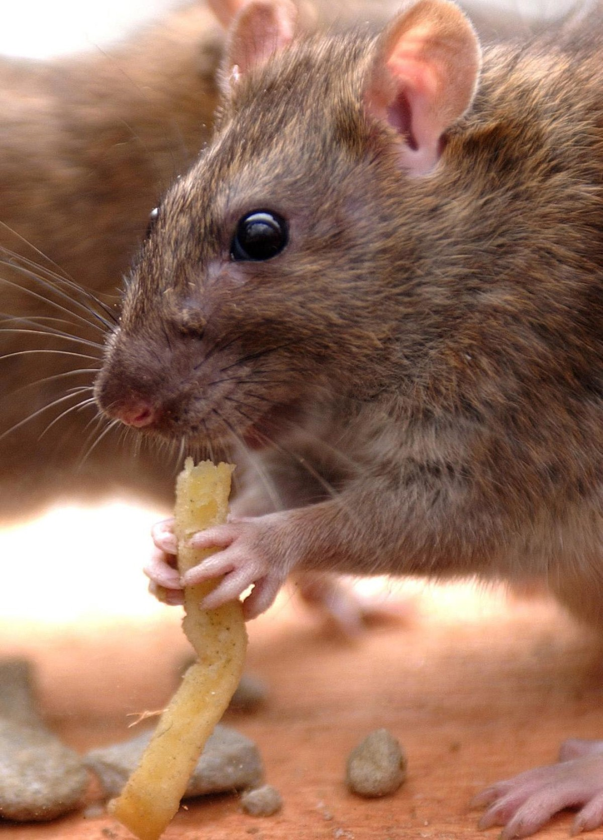 Recent flooding could lead to an influx of rats in Sussex