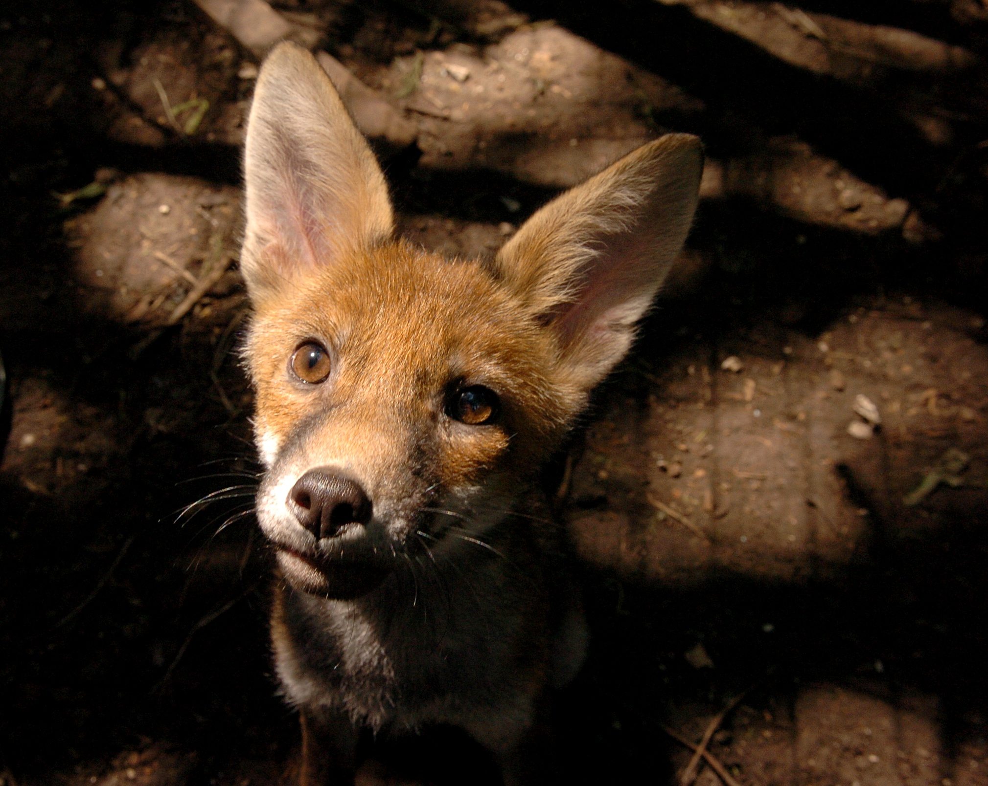 Talking Point: Should the urban fox population be kept under control?