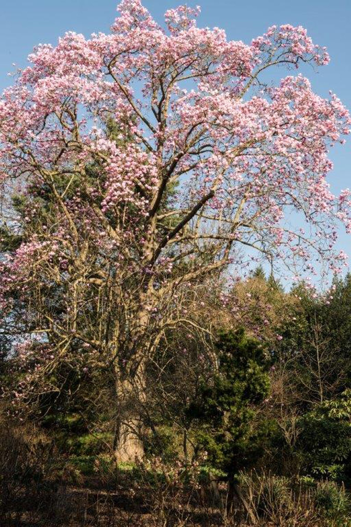 A blooming Magnolia tree in Borde Hill Garden