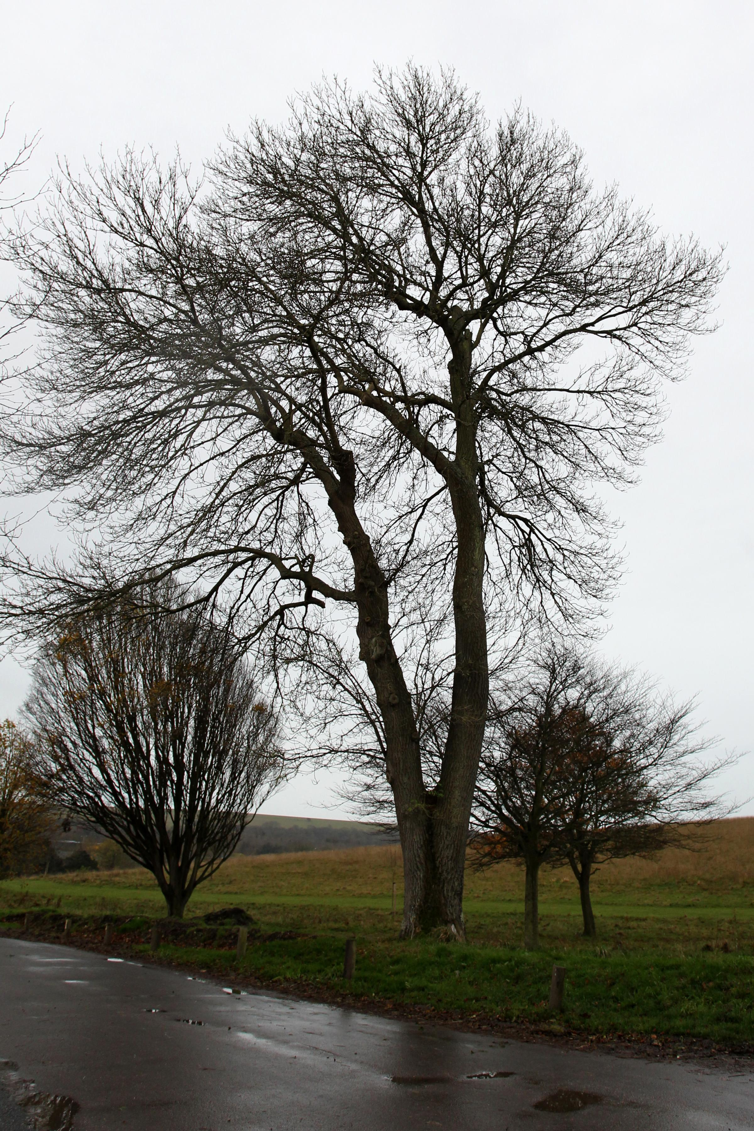 Ash trees under threat from deadly disease