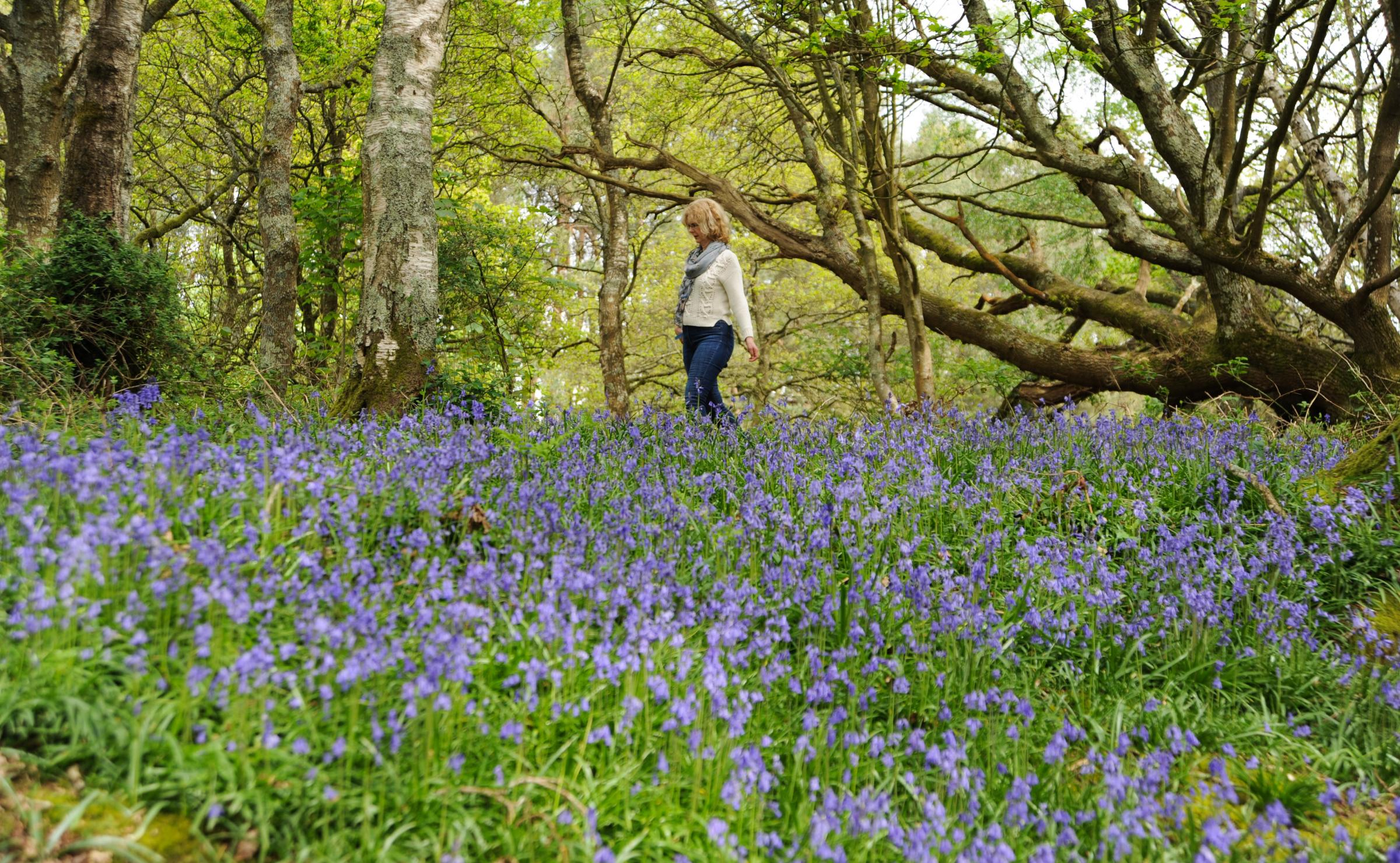Bluebells are currently on display early in Pulborough due to the recent warm weather