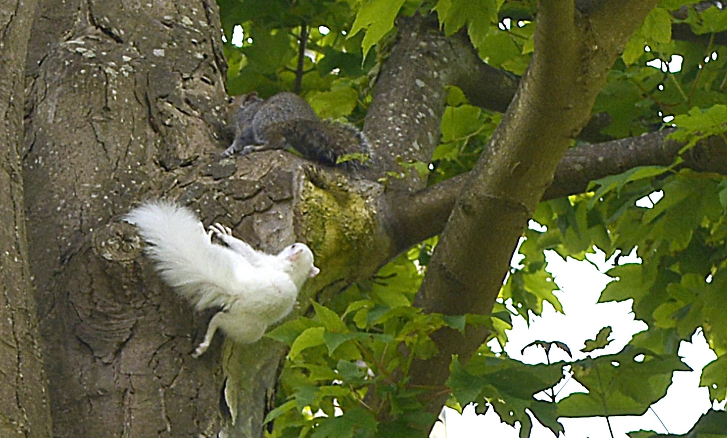 Rare albino squirrel caught scrapping with grey counterpart
