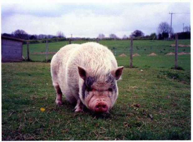 Archive pic of pot bellied pig