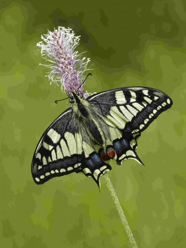 The Argus: ON ITS WAY: The continental swallowtail