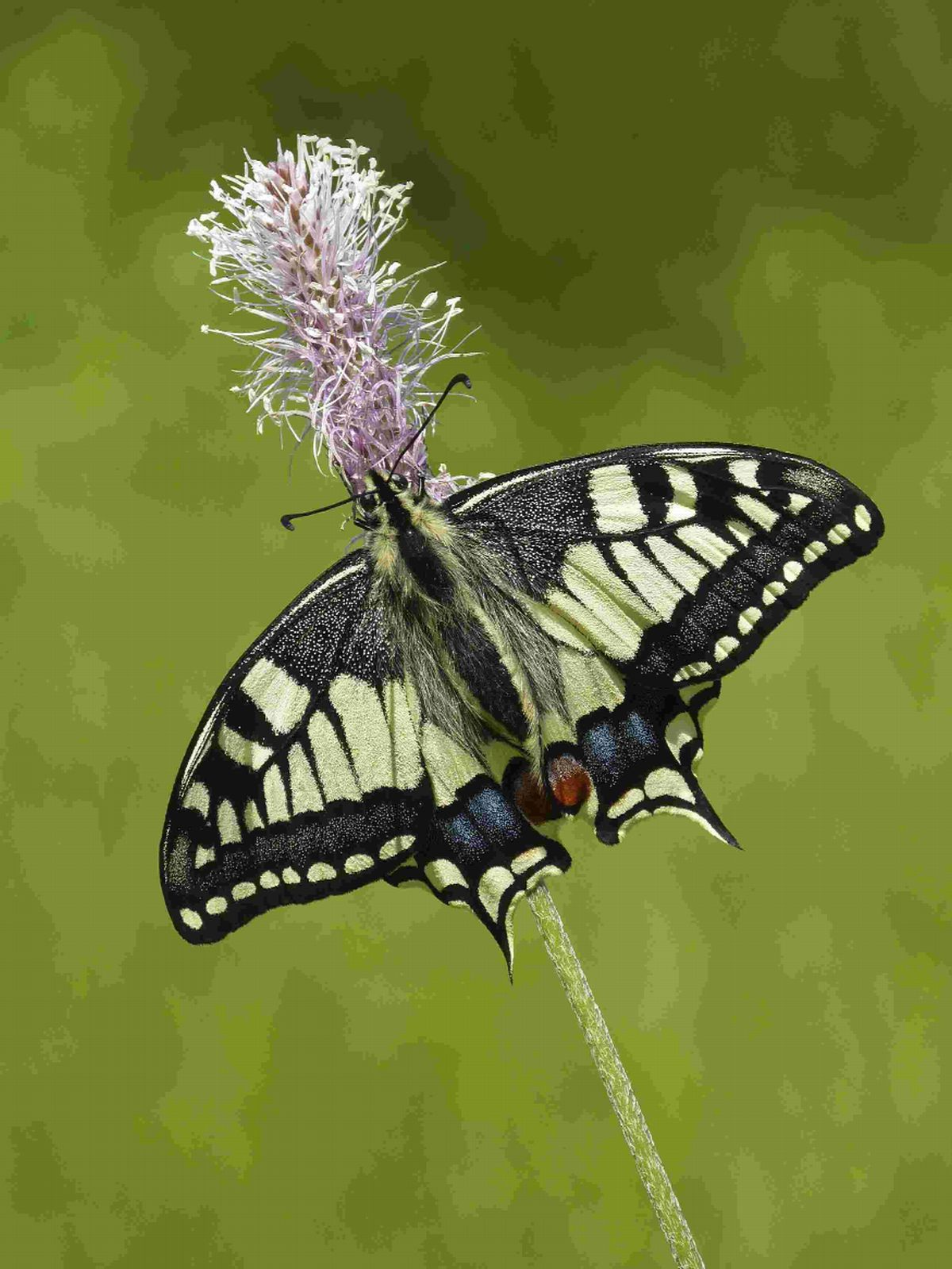 ON ITS WAY: The continental swallowtail