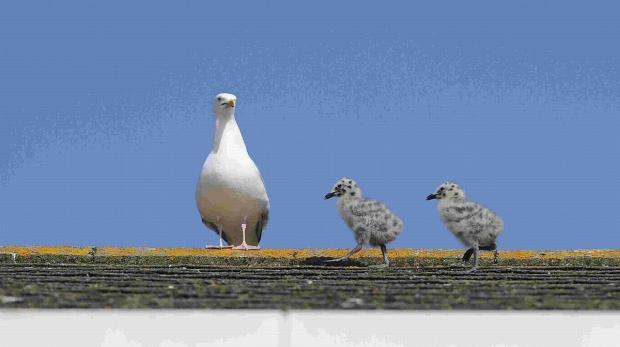 Two seagull chicks stroll across a roof