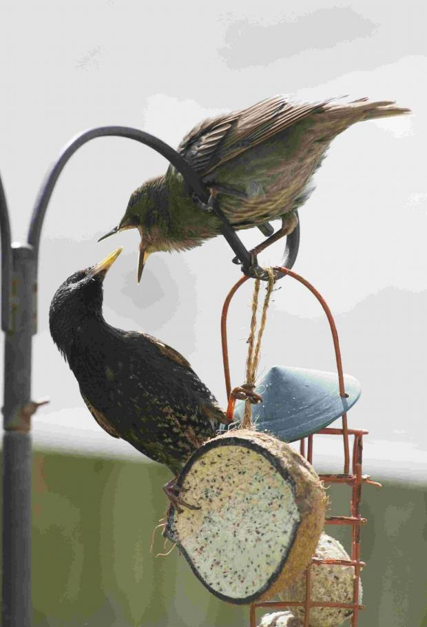 The Argus: Hungry starlings