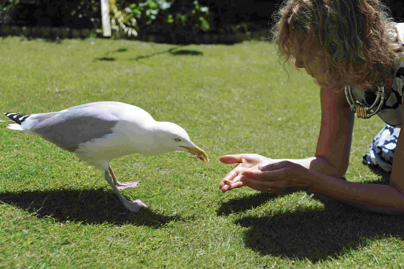Jennie Dack feeds Fred the friendly herring gull, who has lived in the Queens Park area of Brighton for more than 30 years