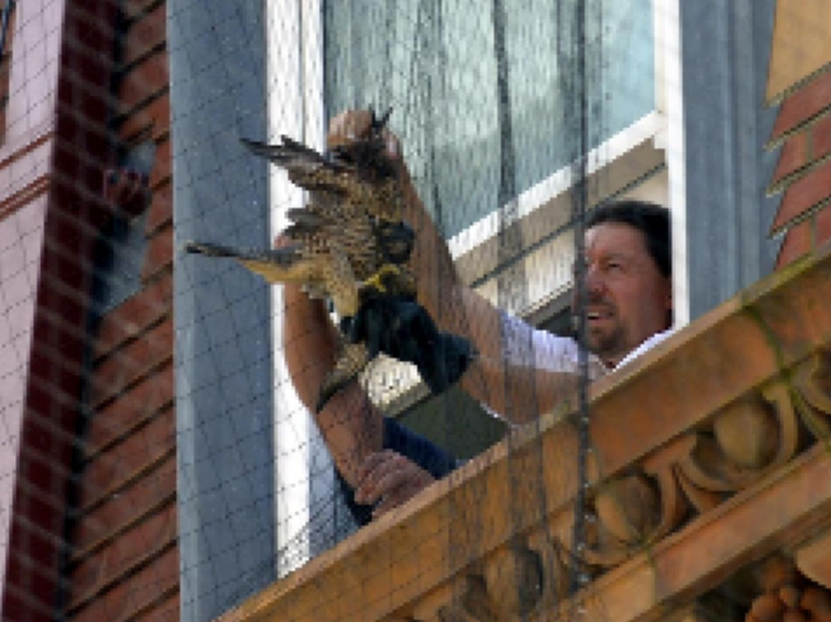 Trapped falcon rescued