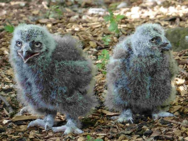 The chicks: cute to some, ugly to others and described as 'all feet and fluff'