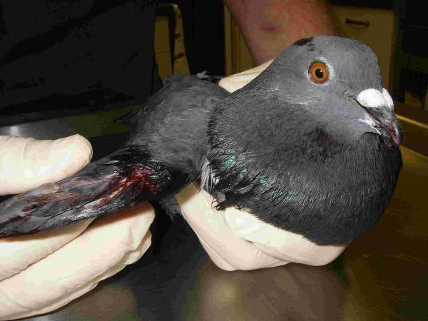 One of the injured pigeons
