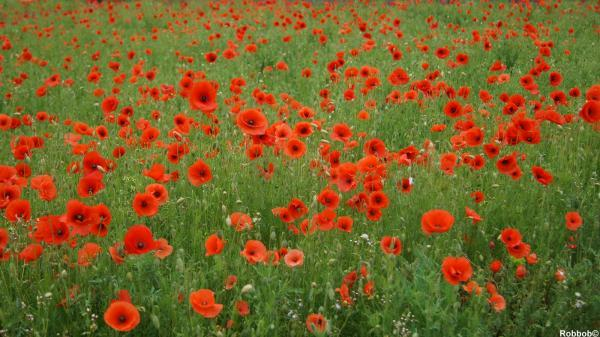 First World War poppies mown down in their prime