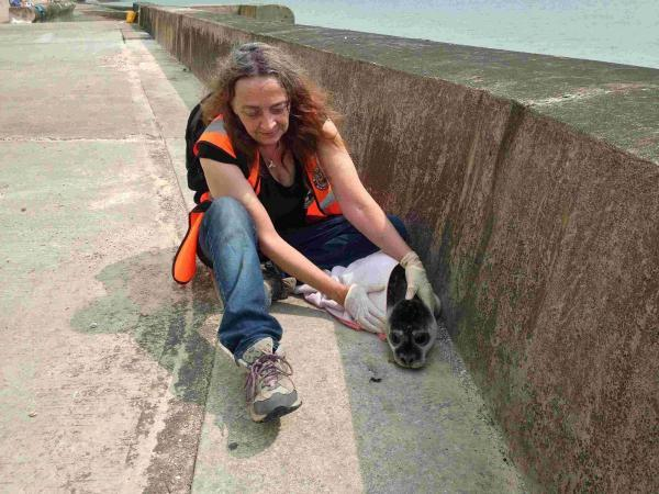 A member from the British Diver Marine Life Rescue helping take the poorly seal from Peavehaven beach to the RSPCA